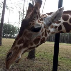 Giraffe at White Oak Conservation Center