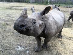 Rhino at White Oak Conservation Center